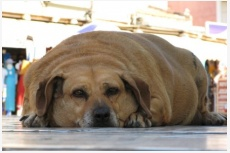 Obézny pes