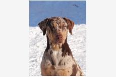 Obrázok používateľa CATAHOULA-Louisiansky leopardi pes