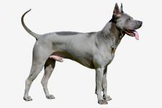 Obrázok používateľa Thai Ridgeback dog