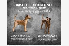 Vrh A - Irish Terrier Kennel Pod modrým vrchom