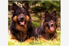 Chodský pes CATTO DARASKÁR a  BRENDA DARASKÁR