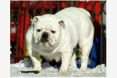 Buldog Baby Ice Girl