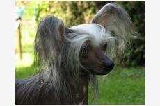 Čínsky chocholatý pes Dareia Shire Pazzda