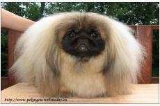 Pekinský palácový psík Yolly Chic Lady Bohemia Orchis