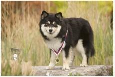 Laponský pastiersky pes