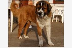 Moskovský strážny pes Bimba Runwa canis