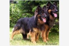 Chodský pes BRENDA DARASKÁR a CATTO DARASKÁR