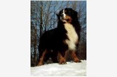 Bernský salašnícky pes ARREZO from Balihara Ranch