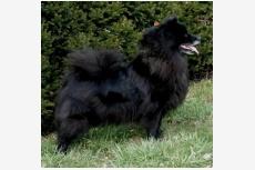 Nemecký špic veľký hnedý a čierny Aeimy Black Re-Jan Moravia