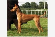 Faraónsky pes