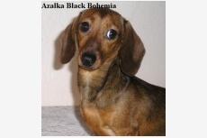Jazvečík králičí hladkosrstý Azalka Black Bohemia
