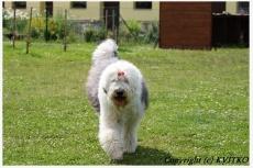 Bobtail Barking Bobby´s Taimee Aryakas Evdoxia
