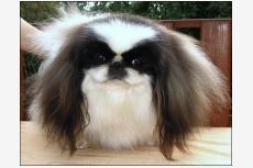 Pekinský palácový psík Elly od Macháčků