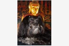Lhasa apso Felicitas Agata Lux