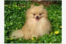 Nemecký špic trpasličí (Pomeranian) HILCREST´S SUGAR COATED