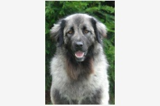 Estrelský pastiersky pes dlhosrstý Isis da Quinta de S. Fernando