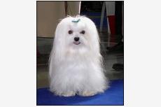 Maltézsky psík Korean Dance Biely kormorán
