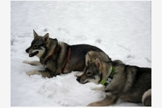 Švédsky losí pes Lena & Rambo