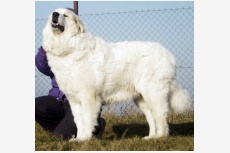 Pyrenejský horský pes Linda Farma Štěkot