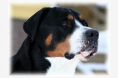 Veľký švajčiarsky salašný pes SIXTEN from Balihara Ranch