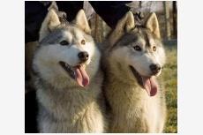 Sibírsky husky Vinyamar´s FLASHING STAR & Vinyamar´s FRODO BAGGINS
