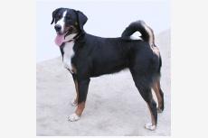 Apenzelský salašný pes WINONA from Balihara Ranch