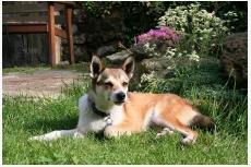 Nórsky lundehund - Bjaluu Lonewolf