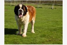 Svätobernardský pes dlhosrstý CH DEIN HARDS RED LEADER