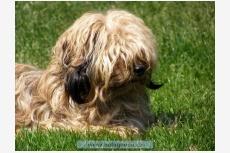 Boloňský farebný psík - DIANA AISCHÉ Black Hekaté