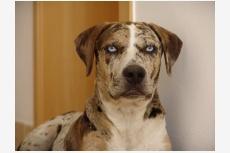 lousiánsky leopardí pes Coho's Sullivan
