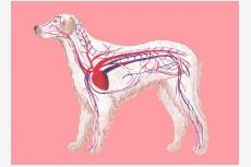 Srdcovocievna sústava psa a krv