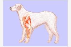 Hrudníkové končatiny psa