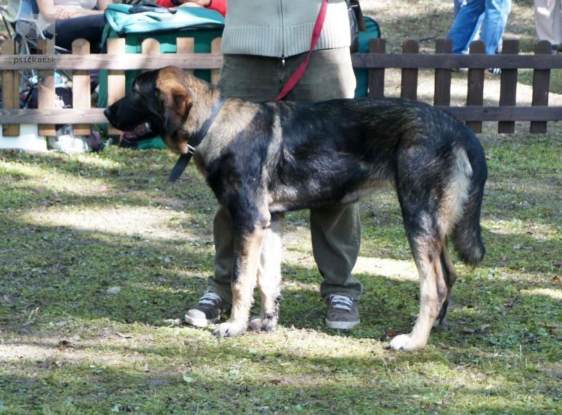 Krašský pastiersky pes?