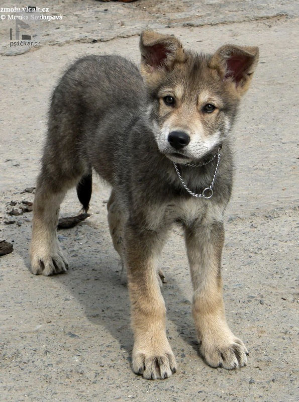 "<a href=""http://www.wolfdogs.cz/"" target=""_blank"">z Molu Es</a>"