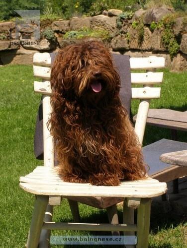 Boloňský farebný psík  08a4308cde6