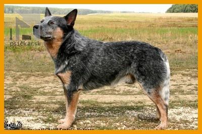 Goran Kazari Toyo-Ken | Austrálsky dobytkársky pes | Chov. pes