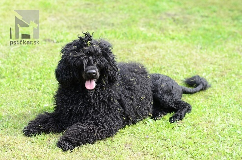 Portugalský vodný pes - Oakley