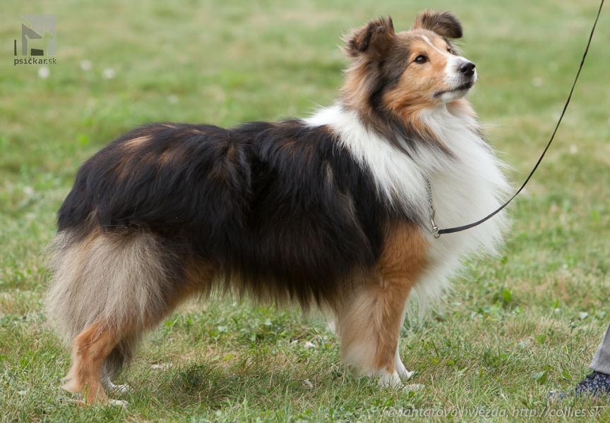 Galériu psíka pridal používateľ Shetlandska hvezda