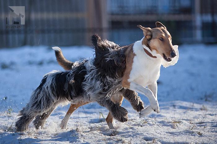 nederlandse schapendoes, holandský pastiersky pes, kólia krátkosrstá, collie smo