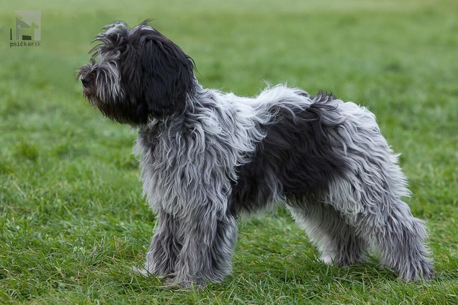 nederlandse schapendoes, holandský pastiersky pes