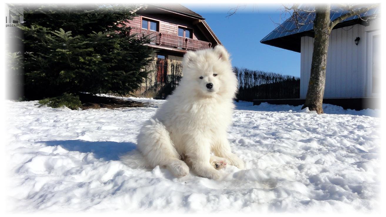 Samojed šteniatka Slovak Sammy