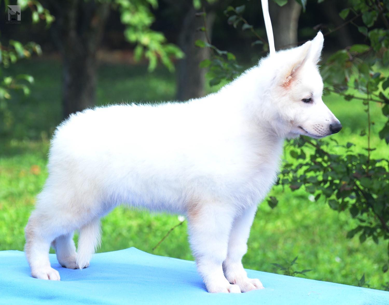 modrý pes