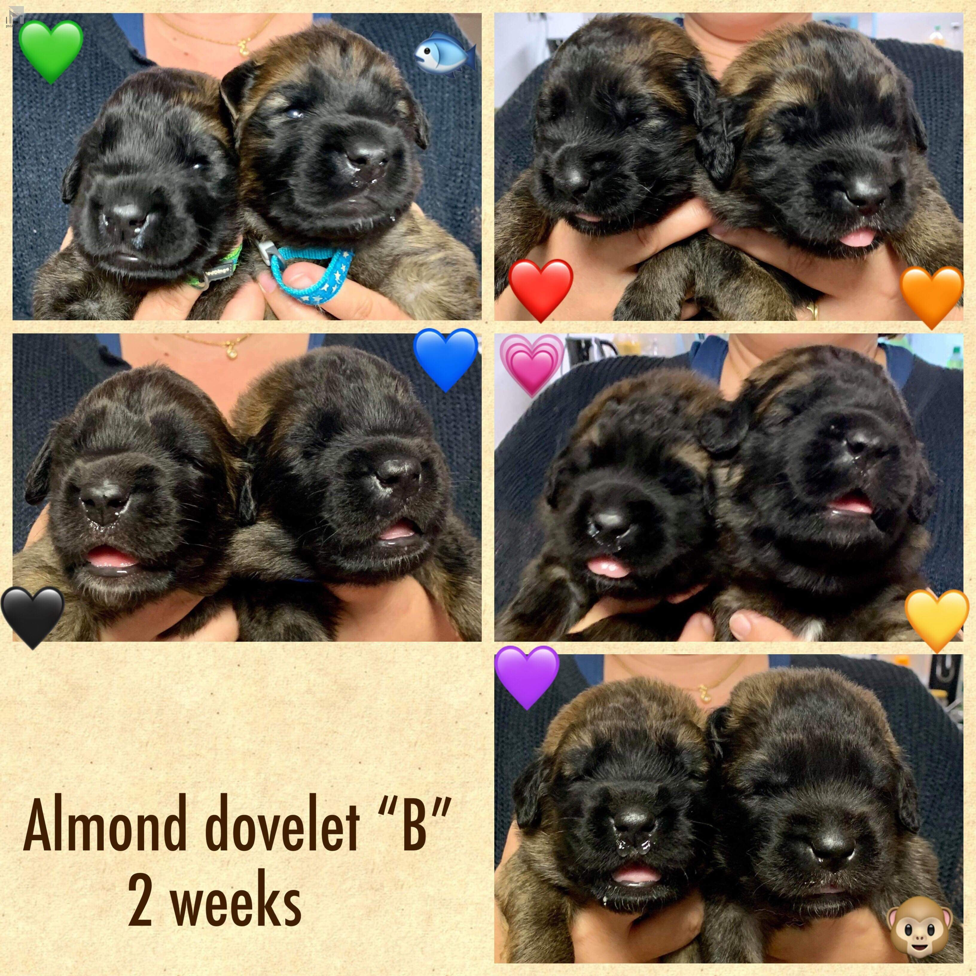 Almond Dovlet B puppies 3week