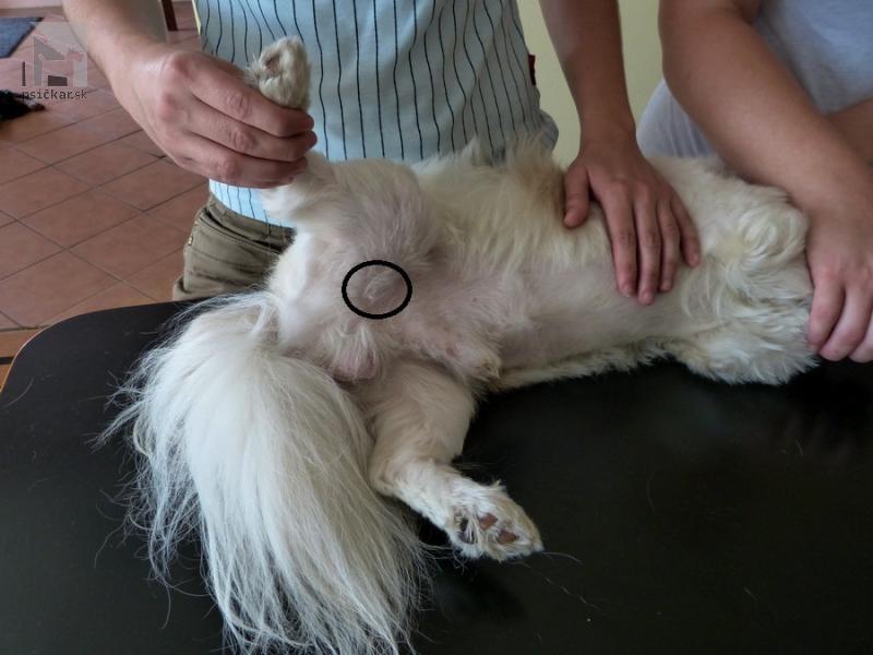 Meranie pulzu psa na femorálnej artérii